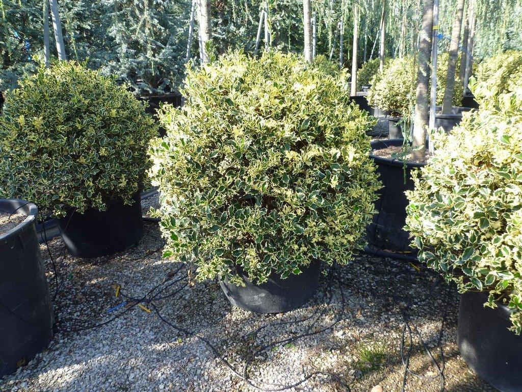 Come Potare A Palla arte topiaria (forme) - vivai rulli garden marsciano